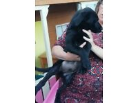 Black Labrador make. Last of litter. Chunky pup. Worked weaned and ready to go