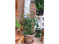 over 5 foot tall oleander tree in expensive terracotta pot