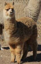Wanted Young Alpacas aged 6 - 12 months Mount Barker Area Preview