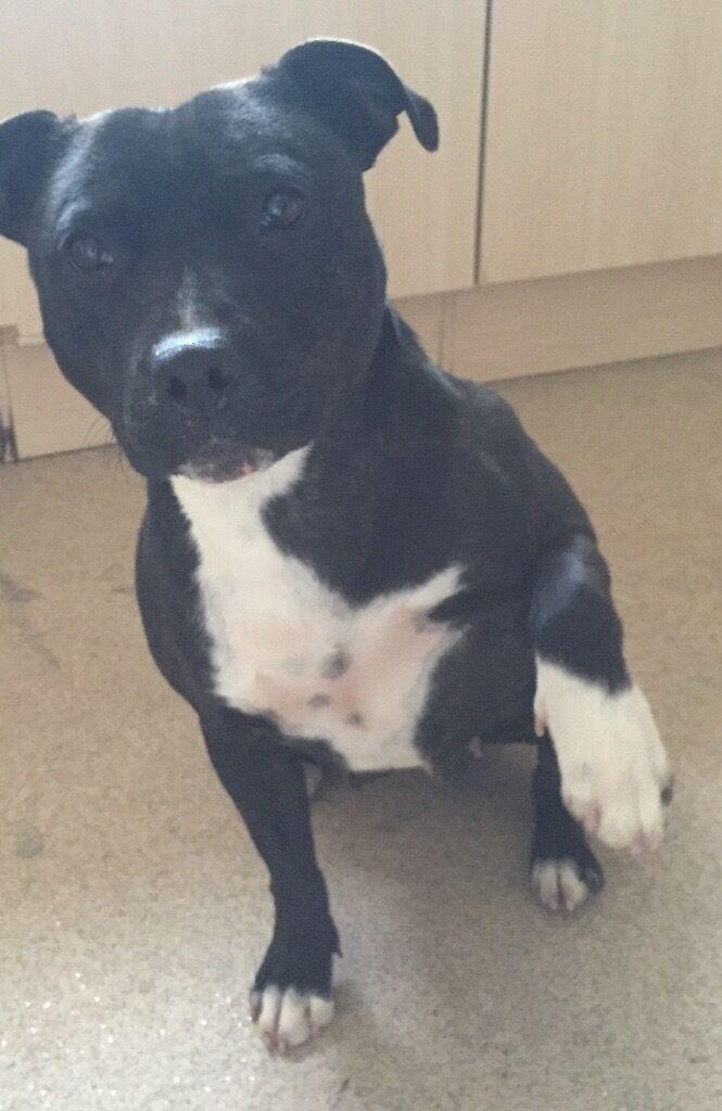 Kc Registered Black Staffordshire Bull Terrier Bitch In