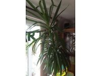 Indoor Yucca plant approx 8ft in height