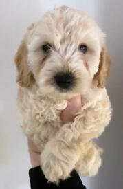F1 Apricot Cockapoo Puppies For Sale