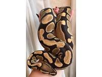 Very tame female royal python