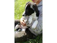 Border collie puppy female