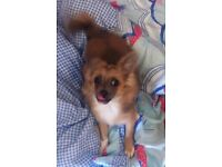 Long haired pedigree female chihuahua