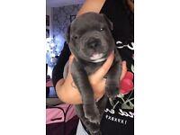 Blue kc reg staffy pup