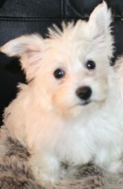 lovely little character West highland girl available in Ammanford