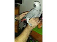 african grey parrot..very tame...talks in sentences