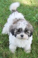 Shih Tzu X Bichon Puppies