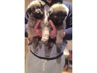 9 German Shepard puppies for sale 5 boys and 4 girls ,black n tan and sable in couler.