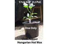 "Chilli Plants ""Hungarian Hot Wax"" in 17 cm 6.8"" 2Lt Pot £3.00 each this is the only"