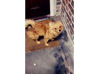 Male Brown Pomeranian 7 months