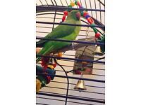 Female Indian ring neck parakeet