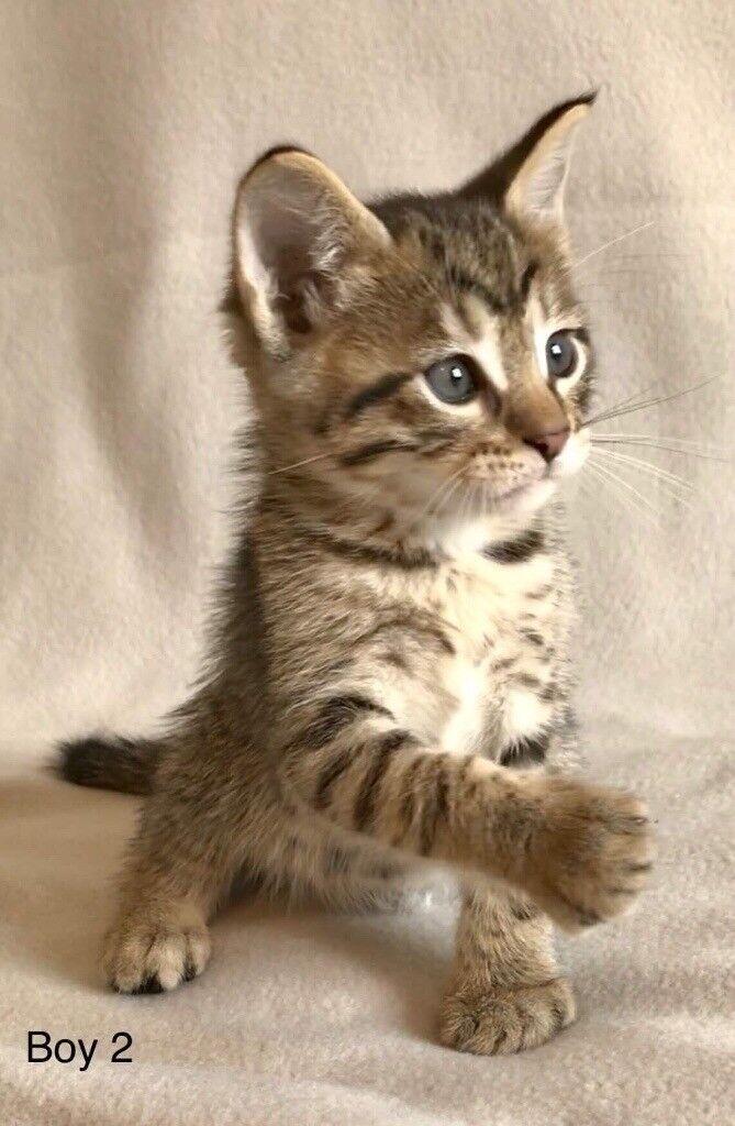 Stunning Bengal x Maine Coon Kittens