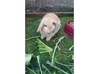 Mate dwarf lop-eared rabbit