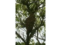 WANTED: honey bee swarm - will collect in Bristol