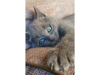 Russian Blue kittens - 1 girl left
