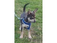 Blue Short haired boy Chihuahua puppy for sale