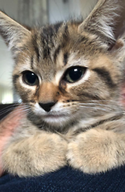 Adorable Mixed Male Kitten For Sale