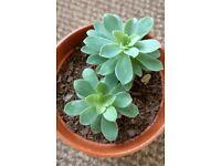 Houseplants - Indoor plants - Succulents - Aeonium