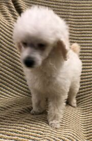 TOY POODLE PUPS READY NOW