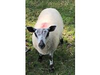 Female lambs for sale
