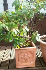 Established Rhododendron goldflimmer