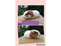 Well handled guinea pigs available