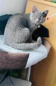 Pure British shorthair 15 weeks kitten for sale