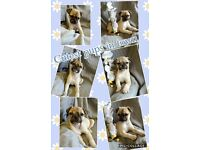 3/4 pug puppies boys only. 1 boy left (Parker)