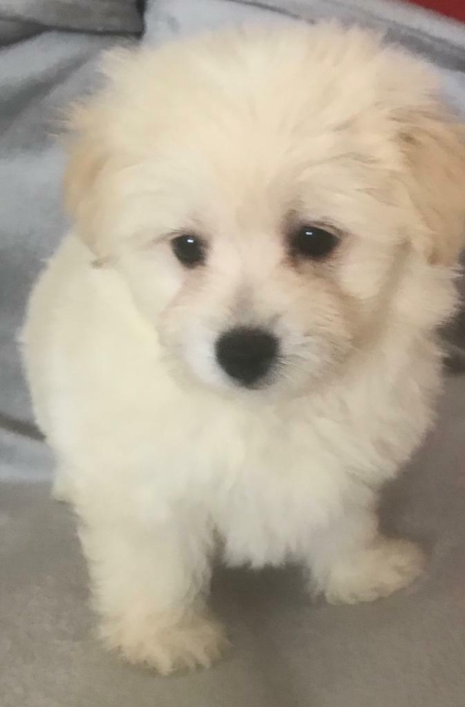 Bichon Frise Cross Toy Pomeranian Puppies For Sale In Chatham