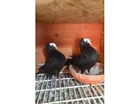Pair of black mookee pigeons