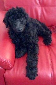 Gorgeous black Standard Poodle puppies for sale