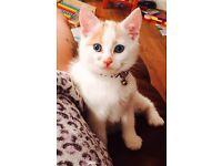 Beautiful turkish van kitten