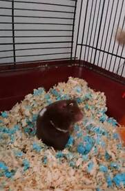 4 month old hamster and amazing set up