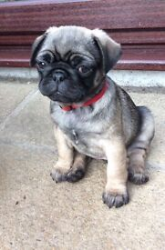 3 beautiful pug puppies 2 Boys 1 Girl ready to leave now