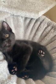Fluffy 9 weeks old half Persian kitten for sale!!