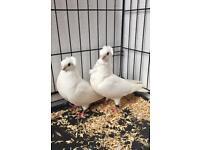 Pair of White German pigeons