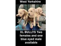 XL BULLY PUPS WHITE