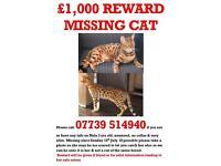 Missing Bengal spotted stripe leopard tiger cat orange brown beige £1000 reward