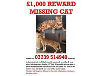 Missing cat bengal rosette spotted tabby brown beige orange tiger leopard cat