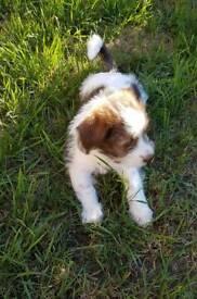 Shih tzu cross puppy