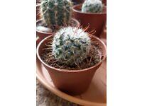 Houseplants - Indoor plants - Young cacti - Mammillaria and Parodia