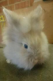 Gorgeous Lion Lop Buck/Boy Sooty Fawn Rabbit