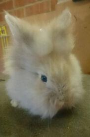 Super Fluffy Double Mane Sooty Fawn Lionhead Pet Bunny - Buck/Boy