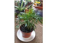 Houseplants - Indoor plants - young Chamaedora palm