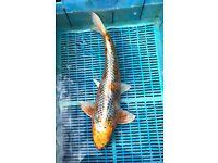 Large Koi Fish - Metallic Ochiba