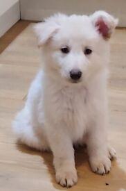 READY TO LEAVE. White Pedigree german shepherd puppies
