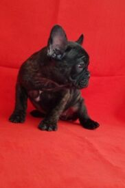 French Bulldog Pedigree Black Brindle