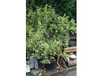 Shrub bush garden plant